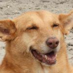 Der Podenco – Rasseportrait aus Sicht des Hundehalters