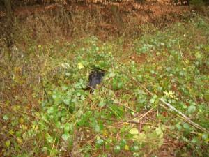 Gordon Setter im Wald
