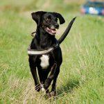 Konditionierung auf die Hundepfeife zum Herankommen