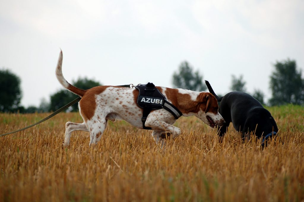 Zwei Hunde im Feld