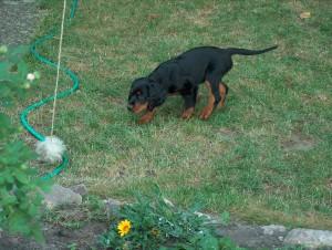 Hund Daisy beim Antijagdtraining