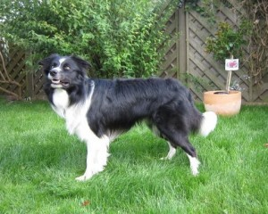 Rassehund Border Collie