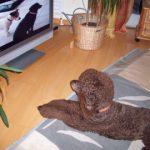 Hund sieht Fernsehen