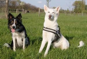 Mischlingshund und Rassehund auf grüner Wiese