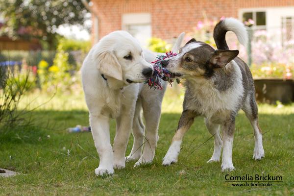 Zwei Welpen mit Spielzeug, Foto: Connie