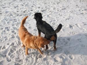 Hunde spielen im Sand
