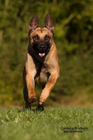 Hund läuft auf einer Wiese fotografieren