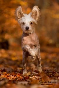 Laufender Hund