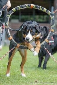 Großer Schweizer Sennenhund Training