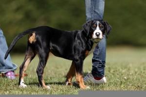 Großer Schweizer Sennenhund beim Spazieren gehen