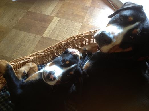 Zwei große Schweizer Sennenhunde