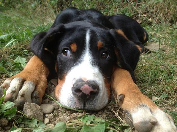 Hunderasse Großer Schweizer Sennenhund