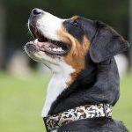 Großer Schweizer Sennenhund – Rasseportrait aus der Sicht des Hundehalters