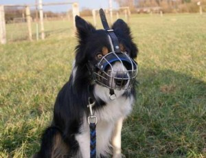 Border Collie Hund mit Maulkorb
