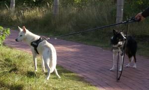 Hund zieht an der Leine