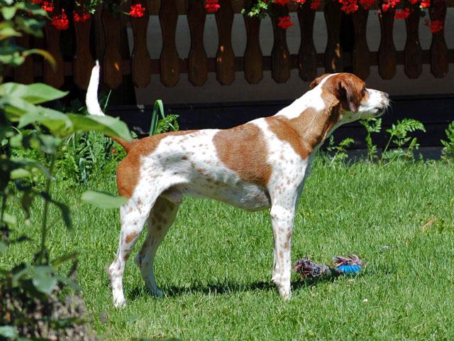Dominanter Hund im Garten