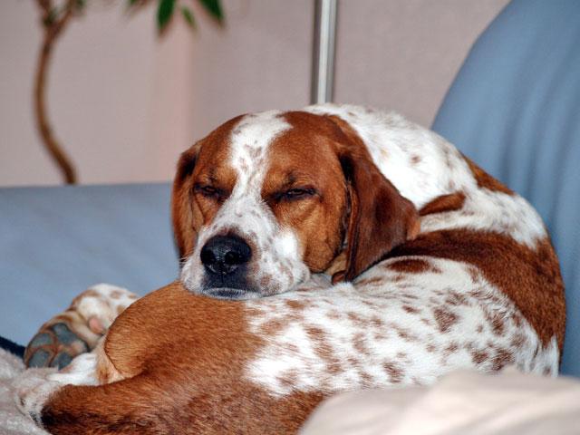 Hund schläft am Sofa