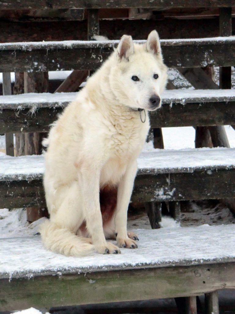 Husky in Finnland