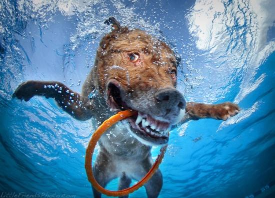 Underwater Dogs Chesapeake Bay Retriever Dagmar