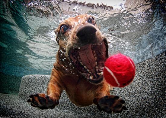 Underwater Dogs: Dachshund Foster