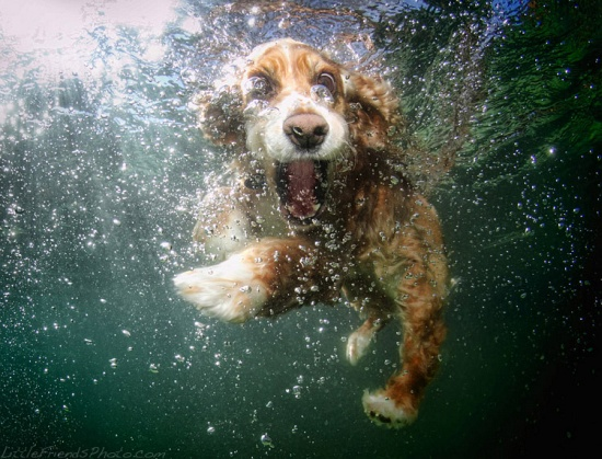 Underwater Dogs Cockerspaniel Oshi