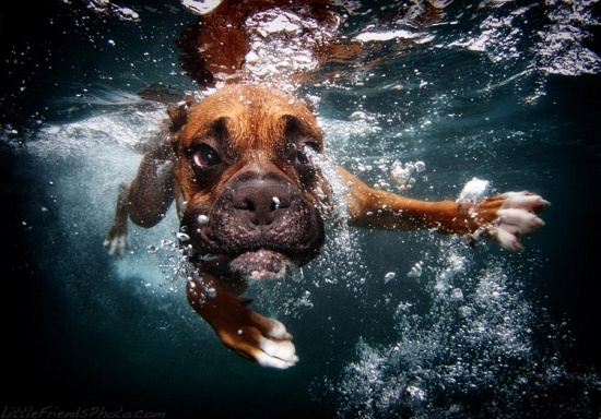 Underwater Dogs Boxer Rex