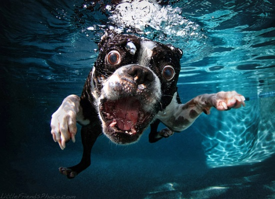 Underwater Dogs Boston Terrier Rocco