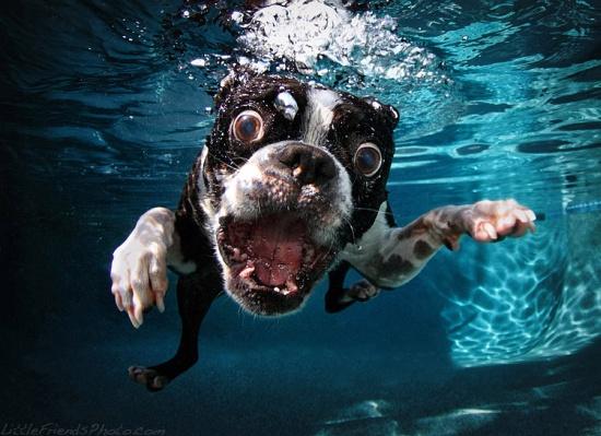 Underwater Dogs Boston Terrier Rocco