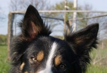 Border Collie Blume