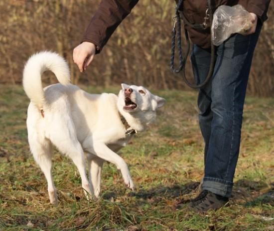 Schäferhund-Husky-Mix dreht sich