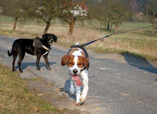 Hunde begegnen sich beim Spaziergang
