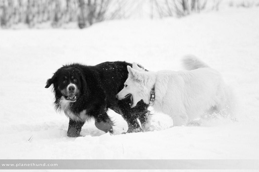Hunde tollen im Schnee