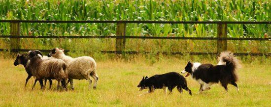 Zwei Border Collies hüten Schafe