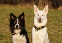 Border Collie, Husky Schäferhund Mix sitzen