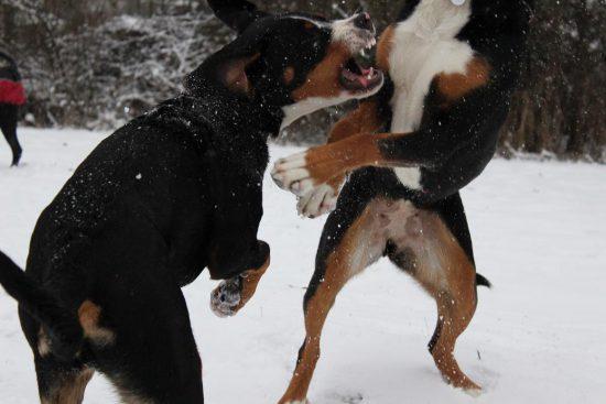 Schweizer Sennenhunde im Schnee
