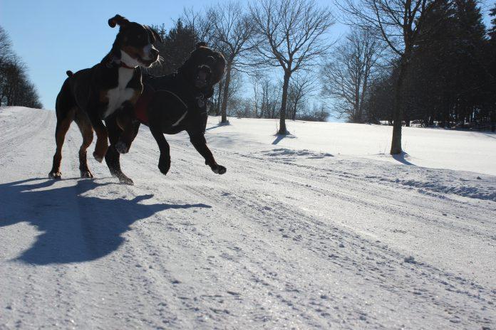 Große Schweizer Sennenhunde, Foto: Lena