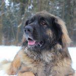 Leonberger – Rasseportrait aus der Sicht des Hundehalters