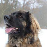 Leonberger Rasseportrait aus der Sicht des Hundehalters