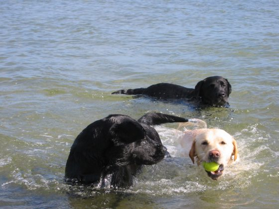 Labrador Retriever – Rasseportrait aus der Sicht des Hundehalters, Foto: Lena