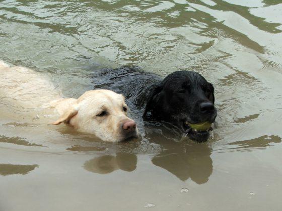 Labrador Retriever – Rasseportrait aus der Sicht des Hundehalters1