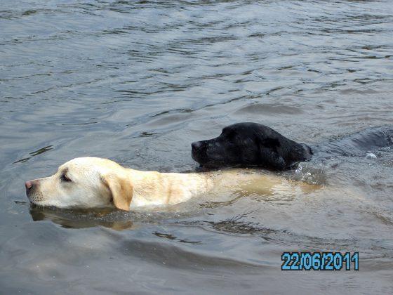 Labrador Retriever – Rasseportrait aus der Sicht des Hundehalters9