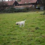 Labrador Retriever – Rasseportrait aus der Sicht des Hundehalters