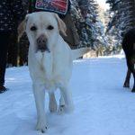 Labrador Retriever – Rasseportrait aus der Sicht des Hundehalters3