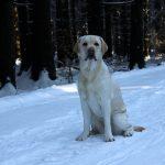Labrador Retriever – Rasseportrait aus der Sicht des Hundehalters4