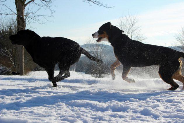 Labrador Retriever – Rasseportrait aus der Sicht des Hundehalters7