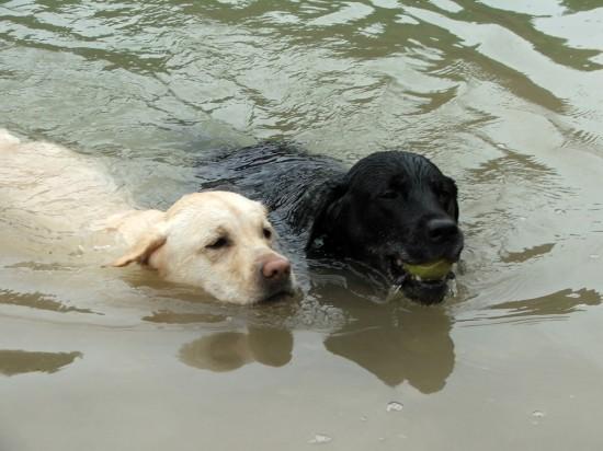 Labradore im Wasser