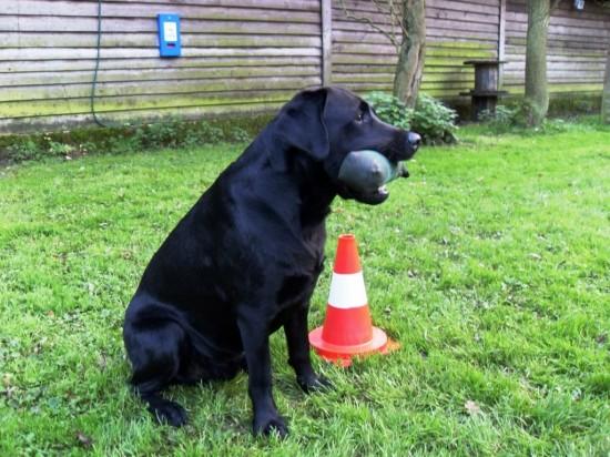 Schwarzer Labrador Hund