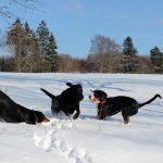 Labrador Retriever – Rasseportrait aus der Sicht des Hundehalters8
