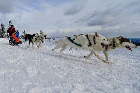 Schlittenhunde im Winter
