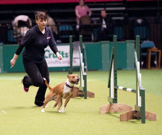 East Anglian Staffordshire Bull Terrier Display Team Crufts Dog Show 2013